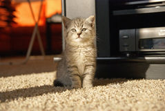 Kitty sitting in a room. Little grey cat sitting in a living room Royalty Free Stock Images