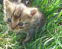 Kitty. Small, fluffy kitten, sitting on the grass under the sun Stock Images