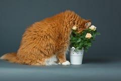 Kitty Smelling le rose Immagine Stock Libera da Diritti