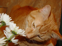 Kitty smells the flowers Royalty Free Stock Photos