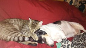 Cat and Dog Photography. Kitty snuggled up to dog Stock Photography