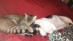 Cat and Dog Photography. Kitty snuggled up to grumpy old dog Stock Photography