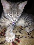 Kitty soñoliento fotografía de archivo libre de regalías