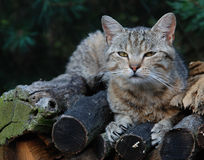 Kitty soñoliento Fotografía de archivo