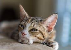 Kitty sonnolento eccellente Immagini Stock