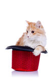Kitty standing in a show hat Royalty Free Stock Photography