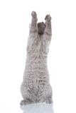 Kitty stretching. Grey cat isolated on a white background Royalty Free Stock Photography