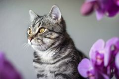 Kitty. striped gray cat. cat head. portrait. baleen face. Cat and orchids royalty free stock photo