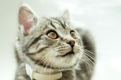 Kitty. striped gray cat. cat head. portrait. baleen face. Kitty. striped gray cat. cat head. portrait. whiskered face stock photography