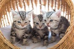 Kitty sul letto dell'animale domestico Fotografie Stock