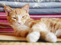 Kitty in the tatami room. Lovely cat lies on the tatami mat of a japanese style room Royalty Free Stock Image