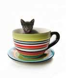 Kitty in a tea cup. Small gray kitten in a large tea cup or mug Stock Image