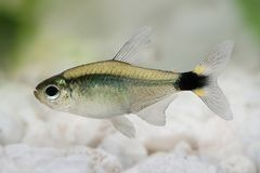 Kitty tetra Hyphessobrycon heliacus tropical aquarium fish. Fish Royalty Free Stock Photo