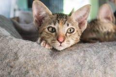 Kitty,Thai cat Royalty Free Stock Photo