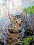 Kitty in the wild. Pretty, curious tabby cat peeking through weeds Royalty Free Stock Images