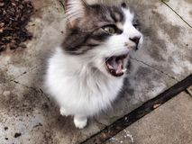 Kitty Yawn. This kitty has fangs Stock Photos