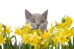 Kitty and yellow flowers. Grey cat with yellow flowers, isolated on a white background Royalty Free Stock Photography