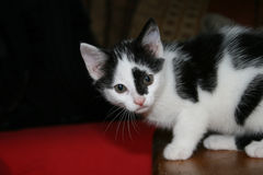 Kitty. Young cat sitting on a table. black and white coloured Stock Images