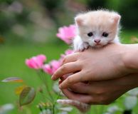 1 Kittys in hand. 1 kitty in hand with red rose Royalty Free Stock Images