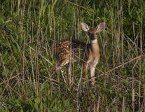 Kitz in den Sumpfgebieten lizenzfreie stockfotos