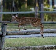 Kitz springt über Zaun stockfotografie
