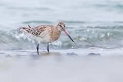 A kivi bird in a water source stock photography