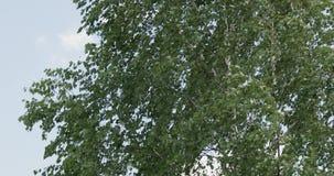 Kiwać zielonych liście brzoza w silnym wiatrze Lata t?o zbiory