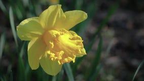 Kiwaj?cy od wiatrowych daffodils w polu na s?onecznym dniu, zbiory