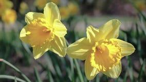 Kiwaj?cy od wiatrowych daffodils w polu na s?onecznym dniu, zdjęcie wideo