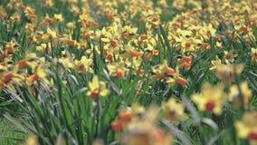 Kiwaj?cy od wiatrowych daffodils w polu na s?onecznym dniu, zbiory wideo