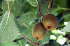 Kiwi. Fruit ripening on a tree Royalty Free Stock Images