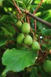 Kiwi (Actinidia) Lizenzfreies Stockbild