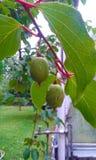 Kiwi - Actinidia köstliches Actinidia deliciosa Lizenzfreies Stockbild