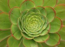 Kiwi Aeonium, ein grüner und roter beständiger Succulent Lizenzfreies Stockbild