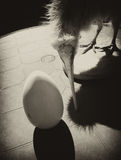 Kiwi bird and egg bw Stock Images