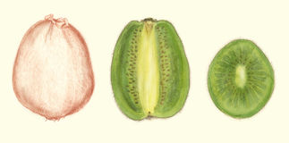 Kiwi fruit botanical drawing Stock Images
