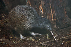 Kiwi in bush Royalty Free Stock Photos