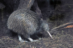 Kiwi in bush Stock Image