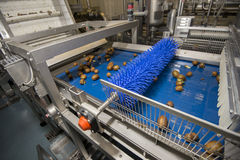 Kiwi on conveyor belt Stock Photography