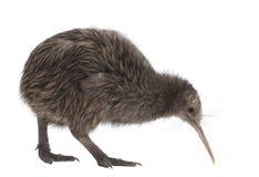 Kiwi del nord del Brown dell'isola, mantelli di Apteryx fotografia stock