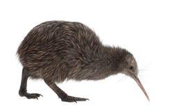Kiwi del nord del Brown dell'isola, mantelli di Apteryx fotografie stock libere da diritti