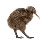 Kiwi del nord di Brown dell'isola, mantelli di Apteryx, 3 mesi Immagine Stock