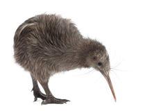 Kiwi du nord de Brown d'île, mantelli d'Apteryx Photographie stock libre de droits