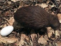 Kiwi du nord de brun d'île image stock