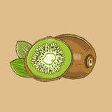 Kiwi en estilo del vintage Ilustración coloreada del vector Fotografía de archivo