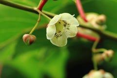 Kiwi flowers Royalty Free Stock Photography