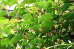 Kiwi flowers and plant (actinidia) Royalty Free Stock Image