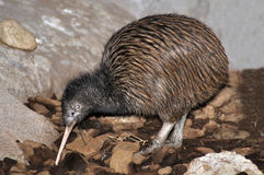 Kiwi foraging Stock Photography