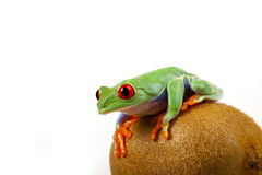 Kiwi Frog Stock Photos