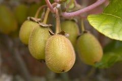Kiwi Fruit. Ripening on a tree stock photo